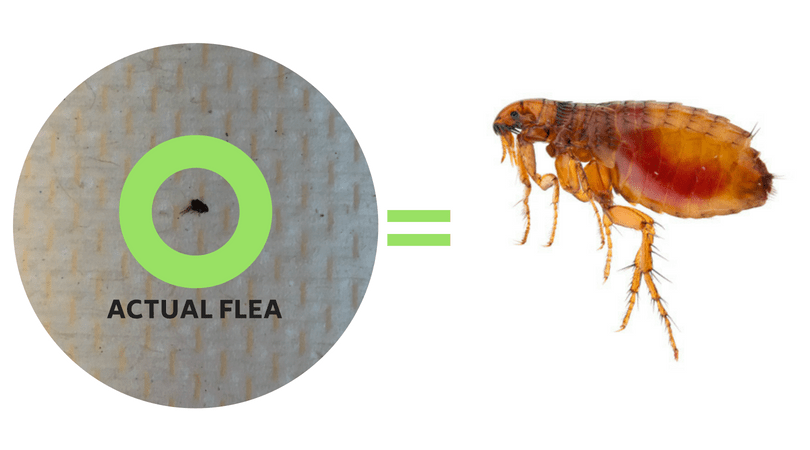 What Do Fleas Look Like 19 Pictures Of Fleas Their Eggs With Images Fleas Flea Control Your Pet