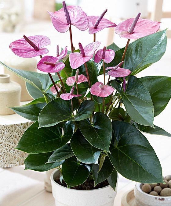 Pin By Gulzhan Dzholdoshova On Indoor Plants Inspo In 2020 Anthurium Plant Flower Seedlings Indoor Flowering Plants