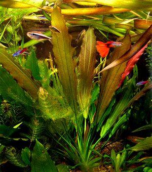 Echinodorus Osiris. Acquari PesciPiante AcquaticheAcqua DolceAcquariPiante  Da Appartamento