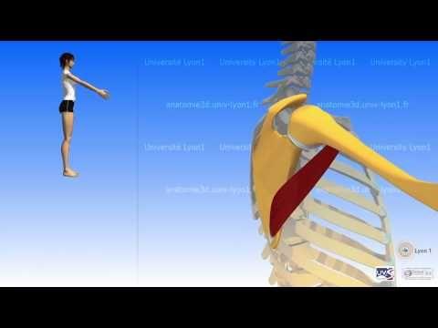 The Teres Major - YouTube | anatomy yoga | Pinterest | Yoga