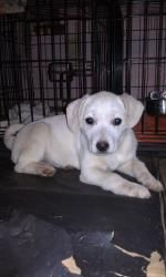 Bobby is an adoptable Labrador Retriever Dog in Byron, NY. Bobby is a 3 month old yellow lab/mix. Do not know what the mix is. He is house trained, crate trained, doing great with basic social manne...