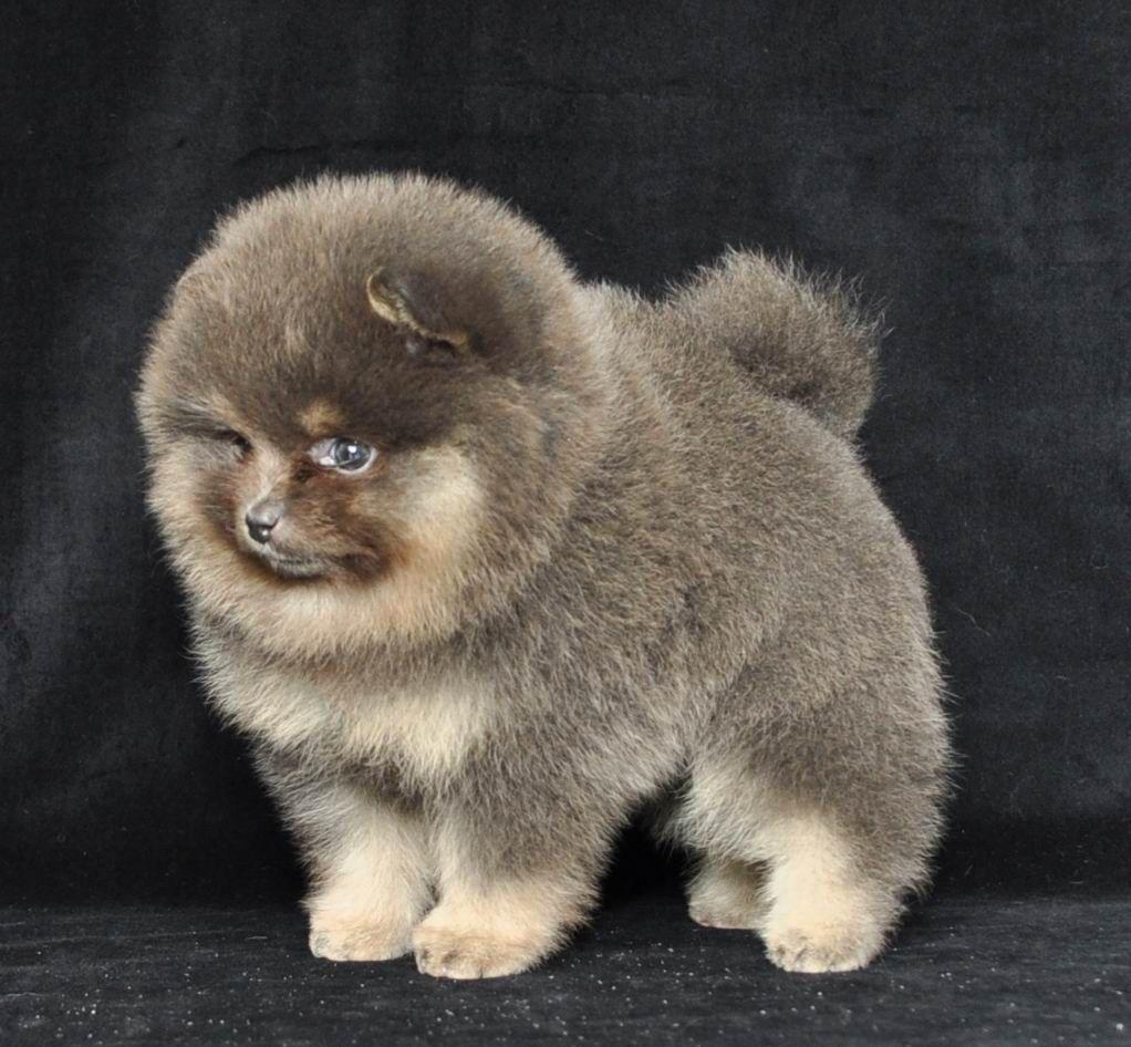 German Spitz Kleinspitz Puppy Dog German Spitz