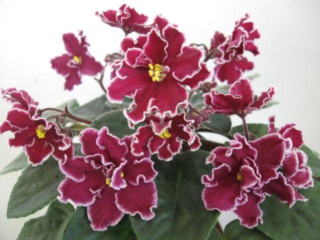 African violet 'Arcturus'