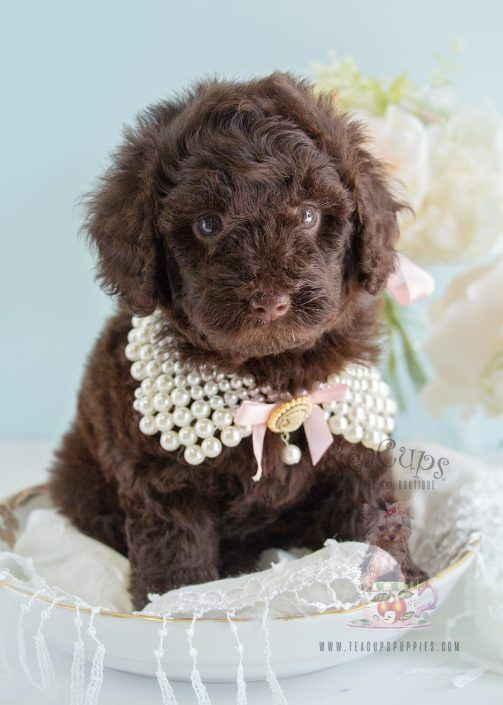 Chocolate Poodle Pup With Images Toy Poodle Puppies Puppy Dog