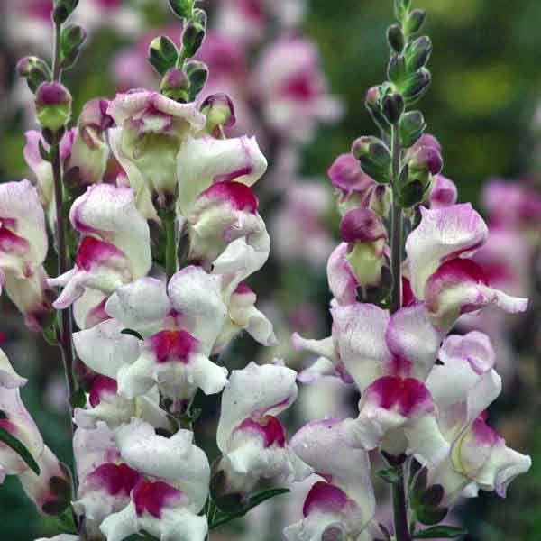 Lucky Lips Snapdragons Annual Flower Seeds An14606 50 1 99