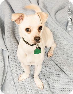 Kansas City Mo Chihuahua Dachshund Mix Meet Taco Tom A Dog For