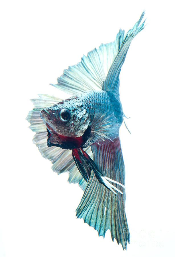 Betta Fish By Visarute Angkatavanich Poisson Combattant Poisson