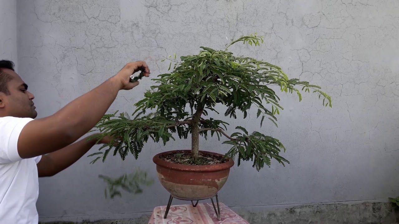 Bonsai Tutorials For Beginners How To Care Tamarind Bonsai Trees
