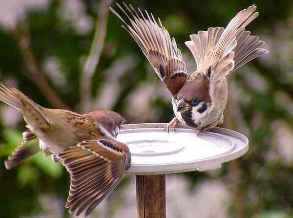 70 Jenis Burung Liar Yang Ada Di Indonesia Kicauan Hias Dan Tarung Burung Gereja Hewan
