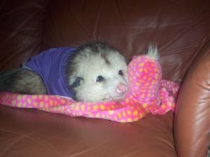 Adopt Jeffie Pet Possum Pending On Petfinder Baby Possum Possum Pets