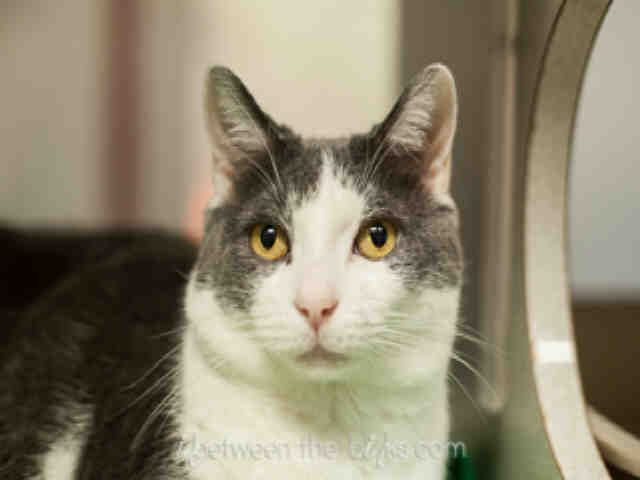 Have you ever seen a cat wearing a feather boa? What about one covered in glitter? Neither have I, but it sure would catch people's attention! I'm Frank, and I've been waiting at the SPCA for a forever home for far too long. I am a neutered male, gray and white Domestic Shorthair and I am about 8 years old. (ID#A075524)