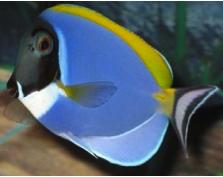 Powder Blue Tang Blue Tang Fish Pet Fish Tank