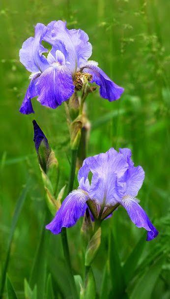 Flower Photography Soobshestvo Google Flori Iris Frumos