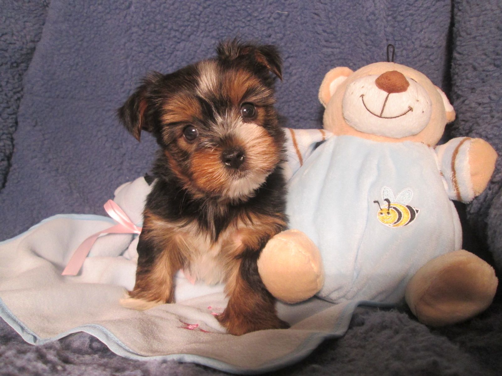 Cuddly Yorkiepoo Puppies Available Yorkie X Poodle 8 12 Weeks Of Age Permanent Shots And Wormings Completed Along With Microchipping We Offer Extens