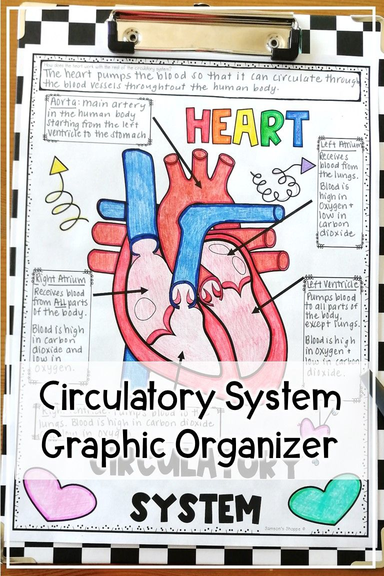 Circulatory System Diagram Of Anatomy Notes Worksheets In 2020 Middle School Health Teaching Upper Elementary School Health