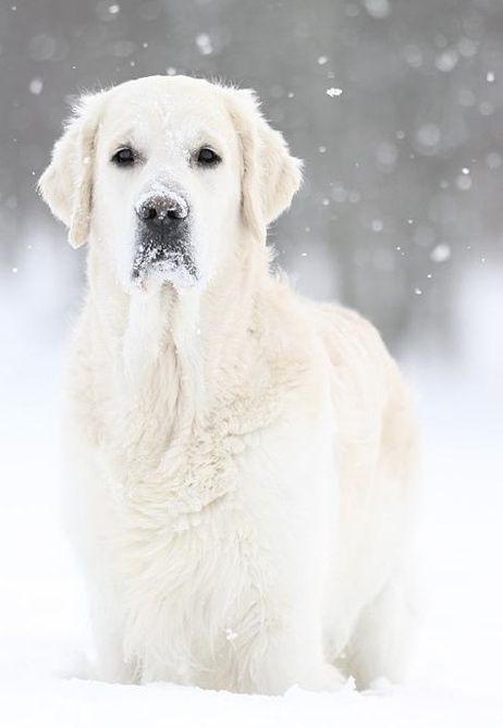 Golden Retriever Noble Loyal Companions Dogs Beautiful Dogs