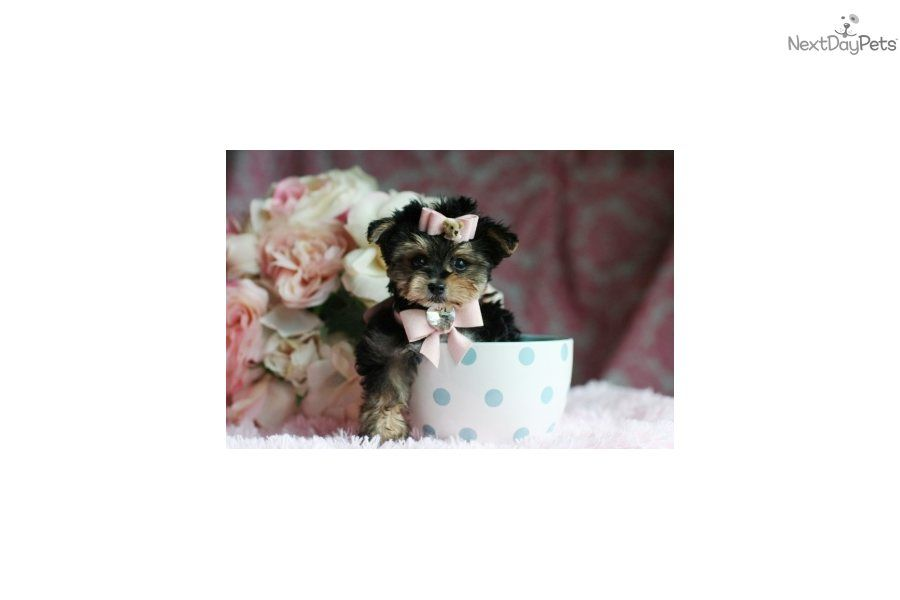 Teacup yorkies for sale in texas fort worth