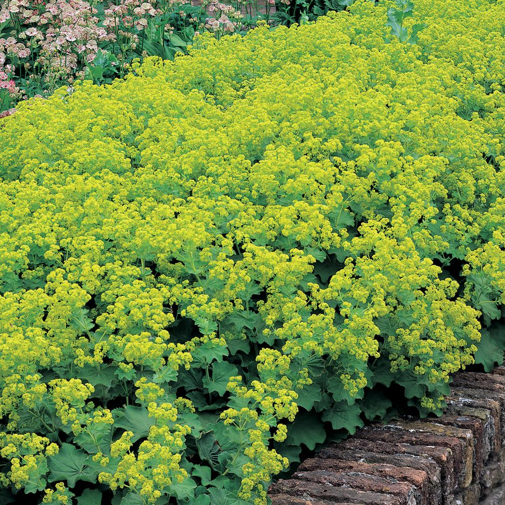 alchemilla mollis 39 thriller 39 lady 39 s mantle gardening pinterest large plants perennials. Black Bedroom Furniture Sets. Home Design Ideas