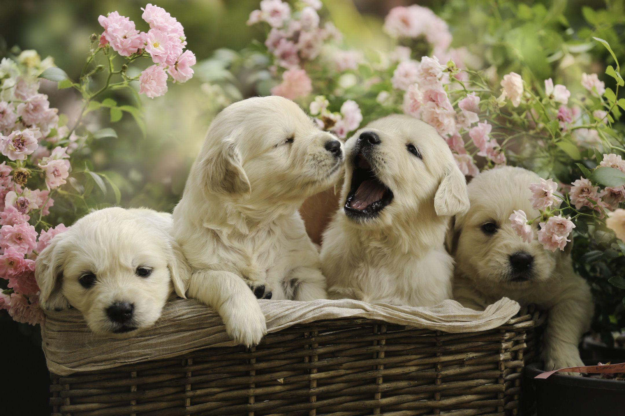 Little Golden Retriever Puppies In Summer Basket Puppies Labrador Retriever Puppies Greenfield Puppies
