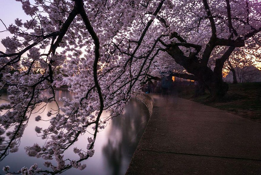 16 Magical Pics Of Japan S Cherry Blossom By National Geographic Cherry Blossom Japan Cherry Blossom Pictures Cherry Blossom