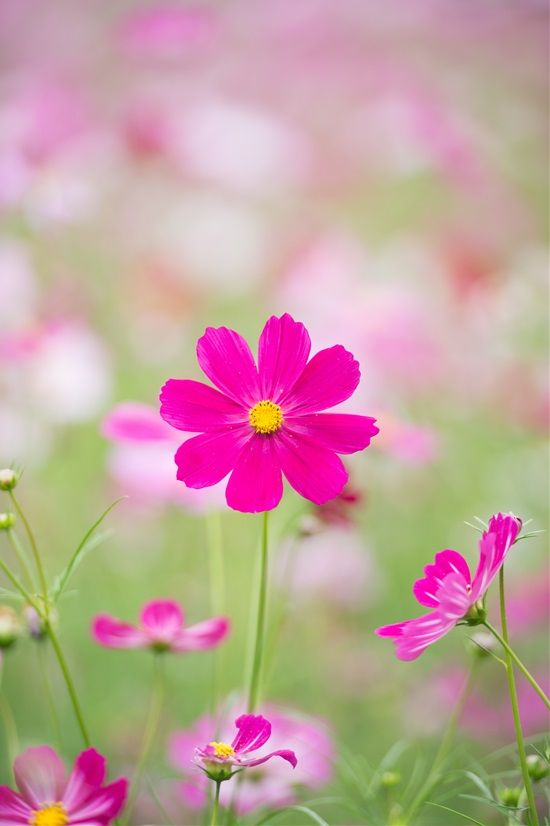 Cosmos Cosmos Spp Plants Plant Diseases Growing Ginger Indoors