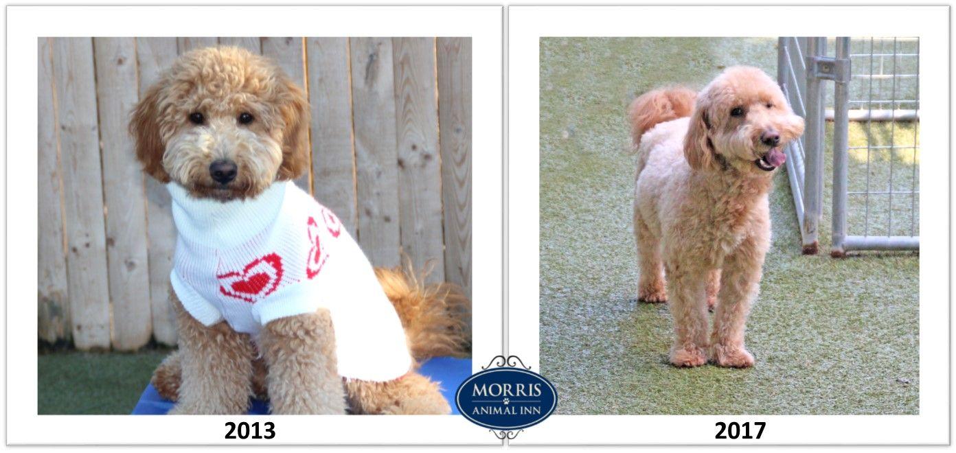 It S Waybackwednesday We Re Featuring Lovable 4 Year Old Miniature Goldendoodle Zeke Morrisanimalinn Waybackwednes Dog Daycare Pet Boarding Animal Shelter