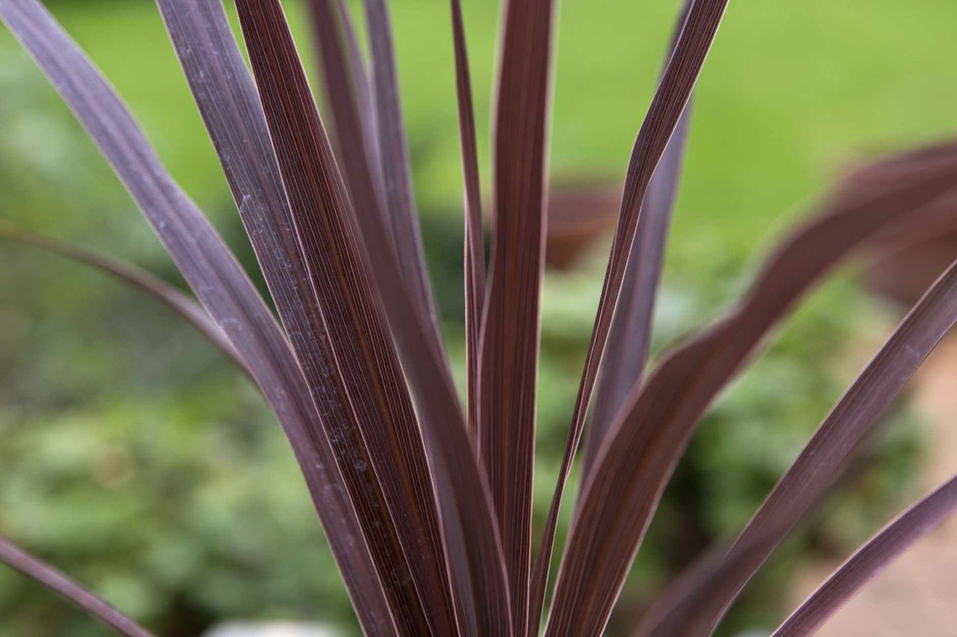 Cordyline Australis Red Star Red Plants Early Spring Flowers Fall Plants
