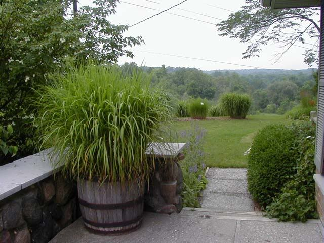 Grasses in containers examples ornamental grasses forum for Best tall grasses for privacy
