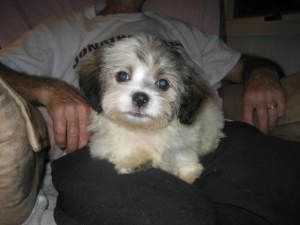 Linus Is An Adoptable Shih Tzu Dog In Hilliard Oh Linus Is An