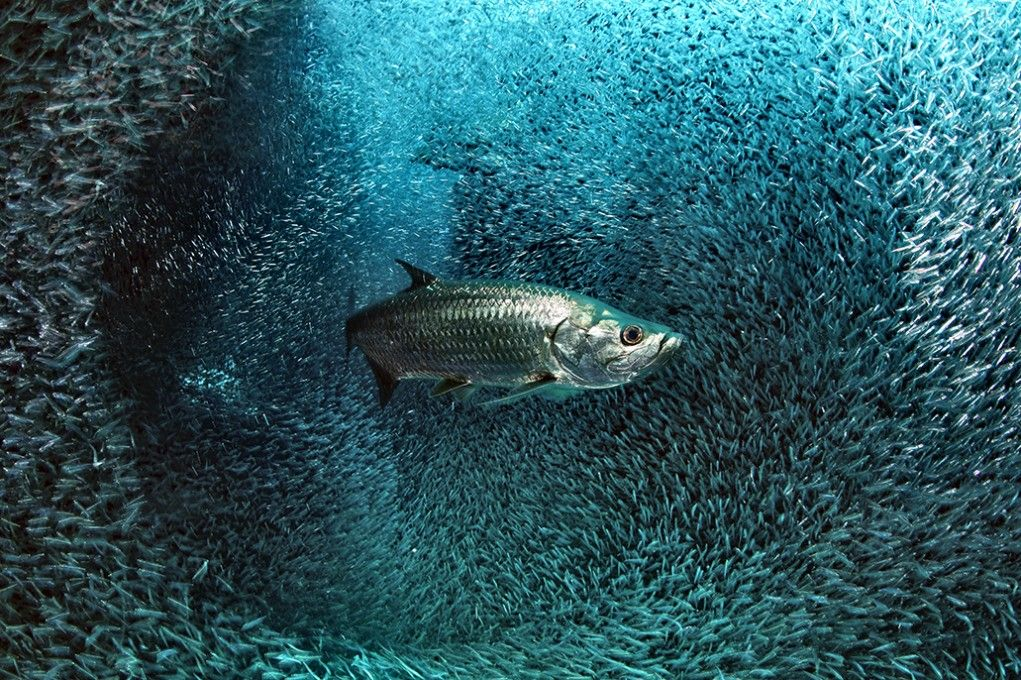 The picture of the day: Atlantic tarpon by Davide Vezzaro.