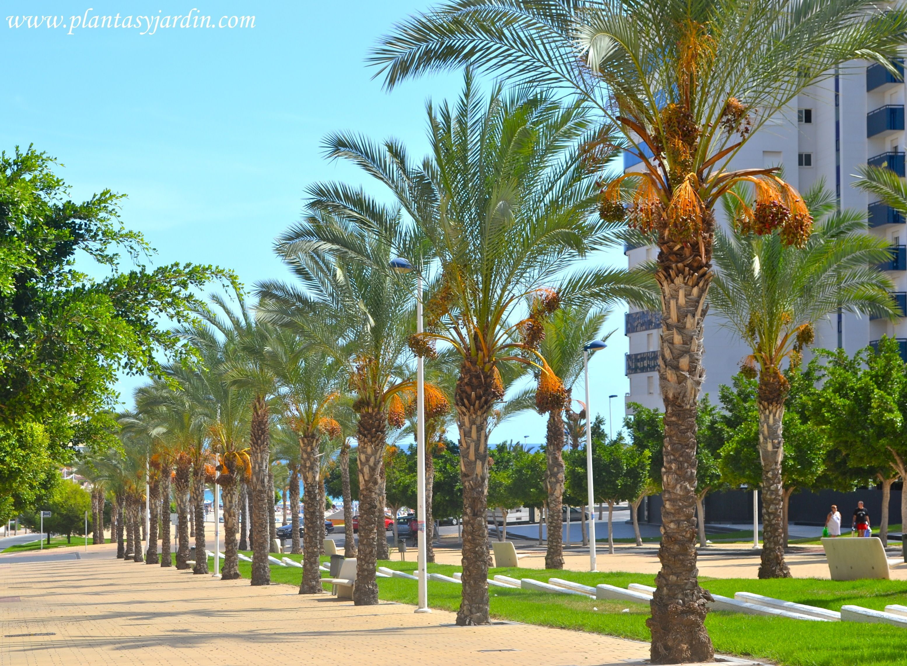 Palmera datilera en la cala de finestrat alicante spain for Palmeras pequenas para jardin