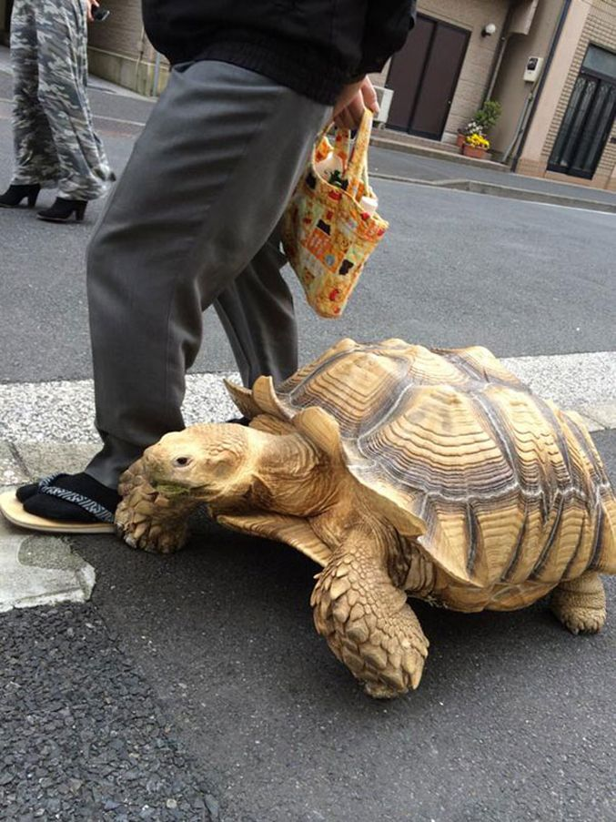 old-man-walking-with-african-spurred-tortoise-03
