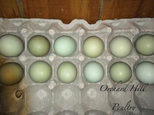 Blue Isbar Chicken Eggs