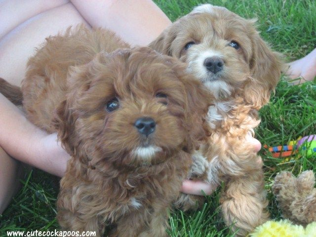 Red And Apricot Cockapoos Cockapoo Cute Dogs Puppies