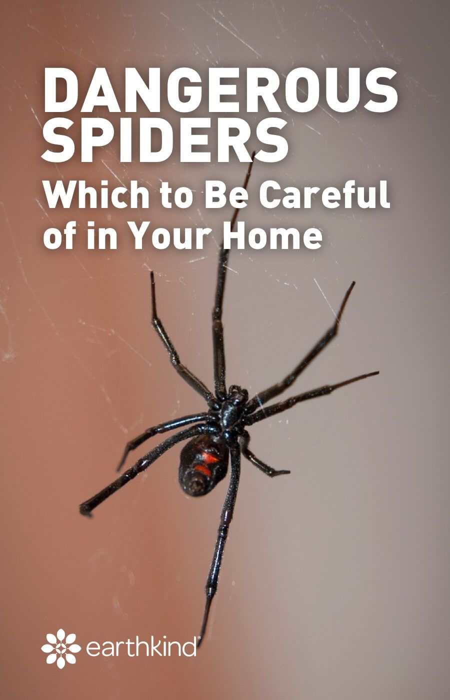 Dangerous spiders which to be careful of in your home