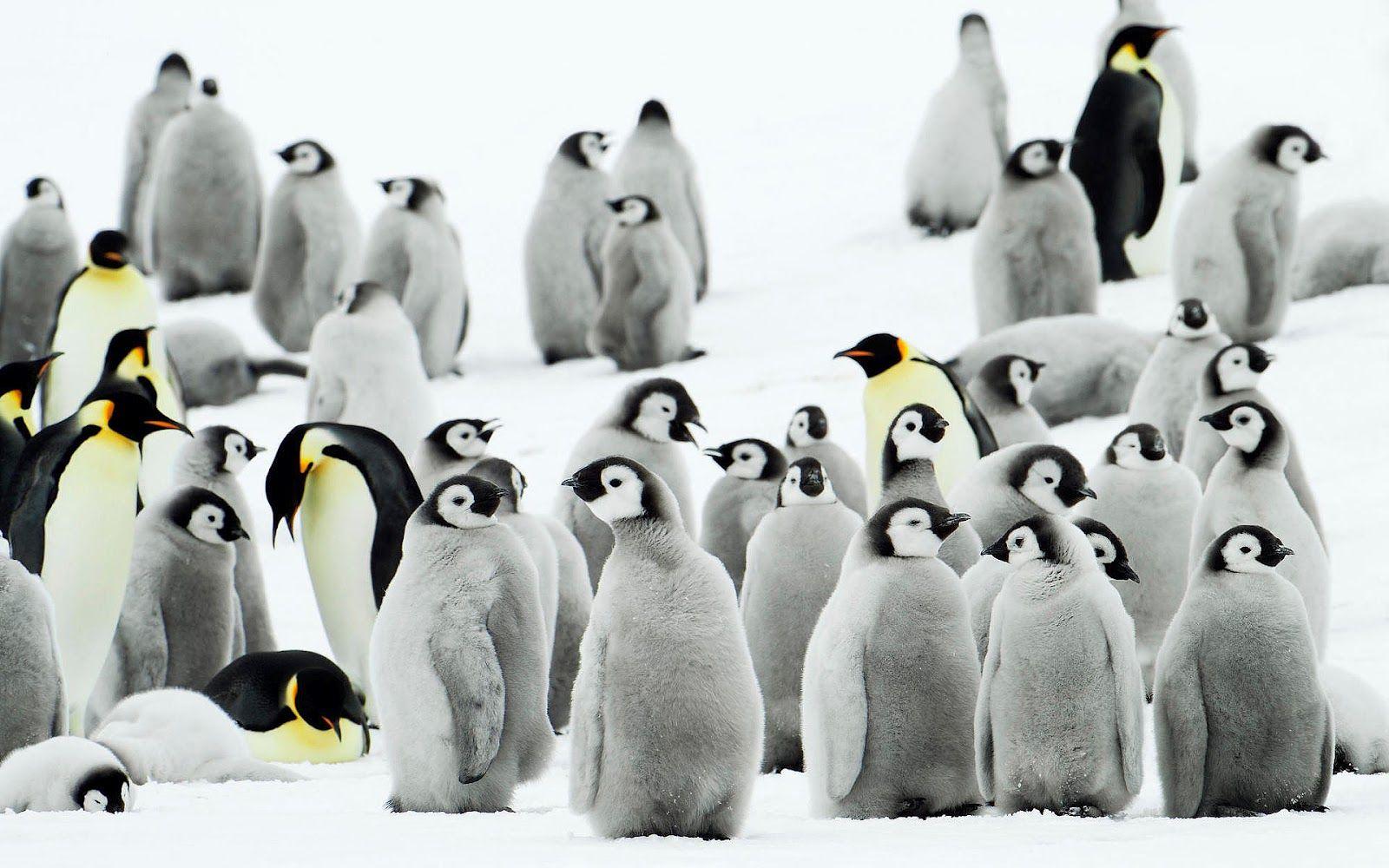 Penguin Wallpaper Beautiful Penguins Wallpaper Gallery 1600 1000 Images Of Penguins Wallpapers 55 Wallpapers Adorable Penguin Wallpaper Penguins Pet Birds