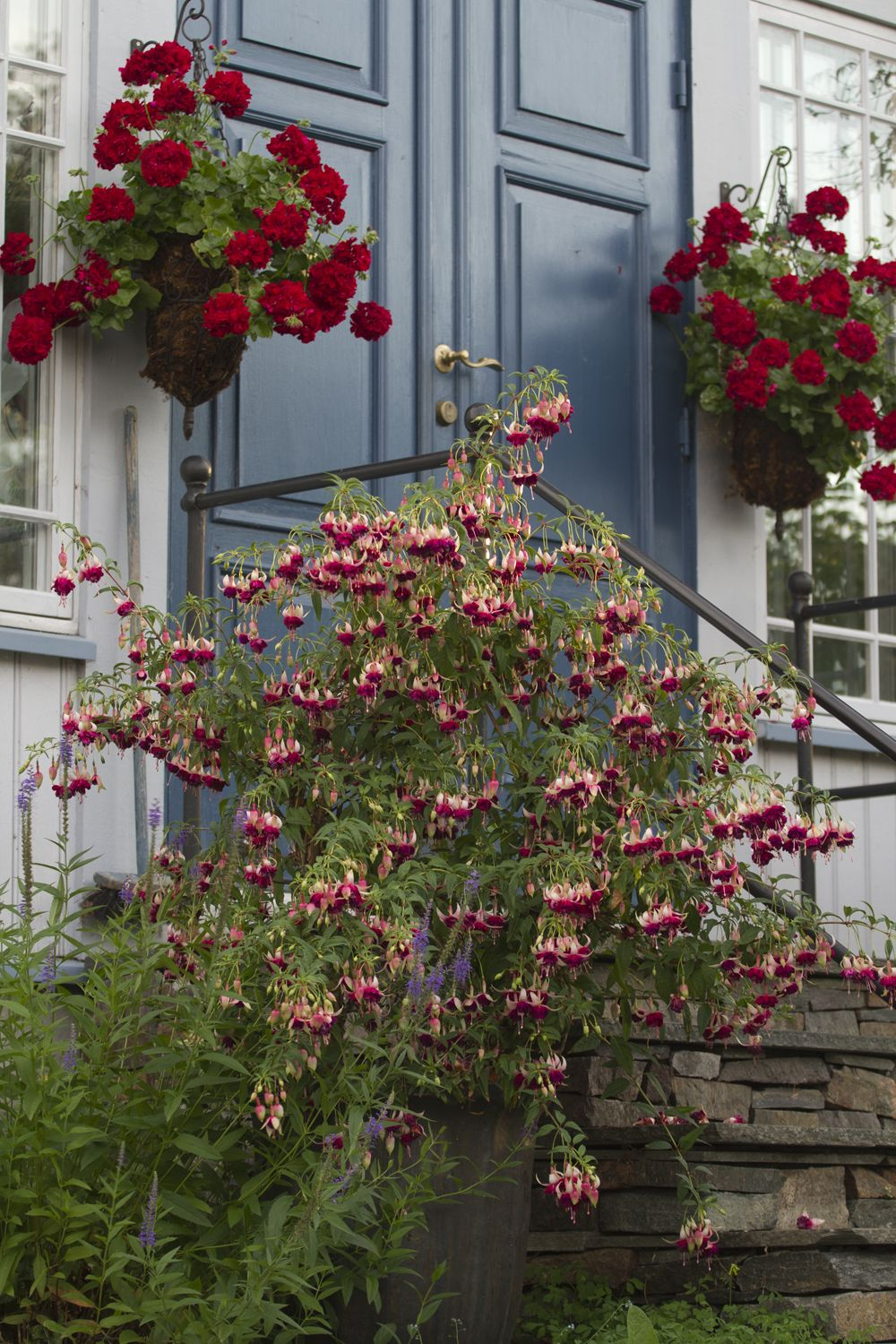 Pelargonium and Fuschia in containers via Helen Fredholm | flowers ...