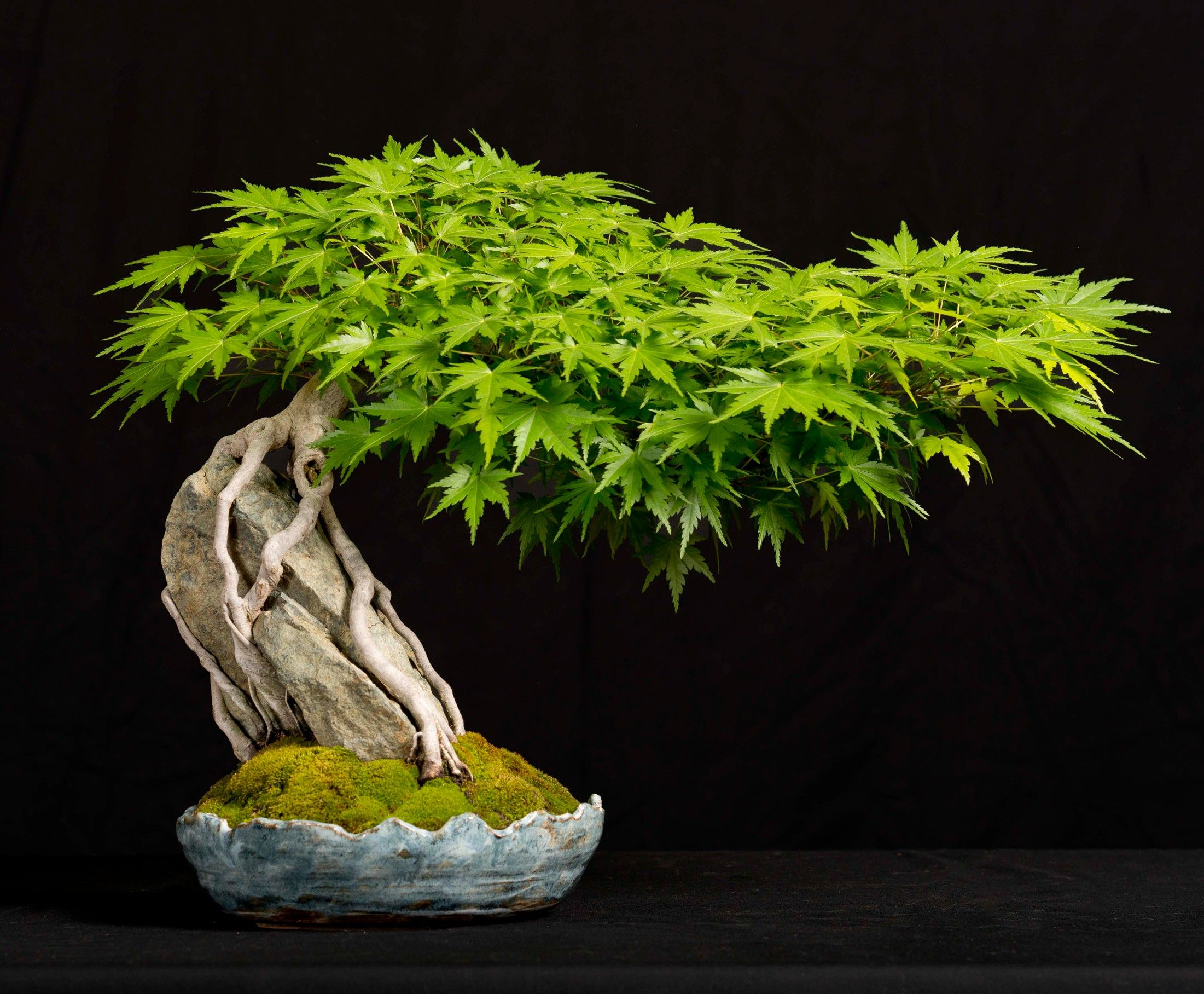 Arce japon s acer palmatum ra z sobre piedra bonsai - Arce japones cuidados ...