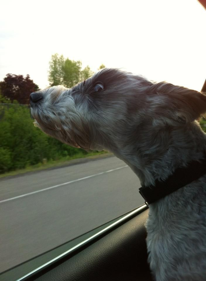 Buddy enjoying the wind in his beard. We miss him so much! | A community of Schnauzer lovers!