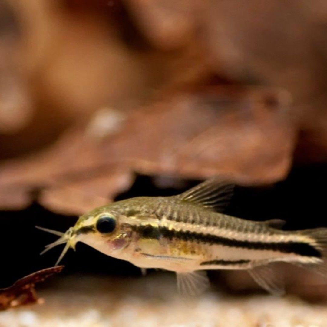 Pygmy Corydoras Corydoras Corydorascatfish In 2020 Fish Pet Pets Fish Care
