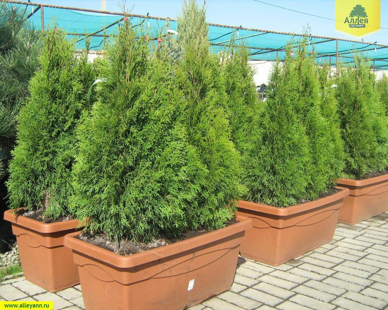 Emerald green arborvitae growth rate thuja pyramidalis related keywords suggestions thuja pyramidalis