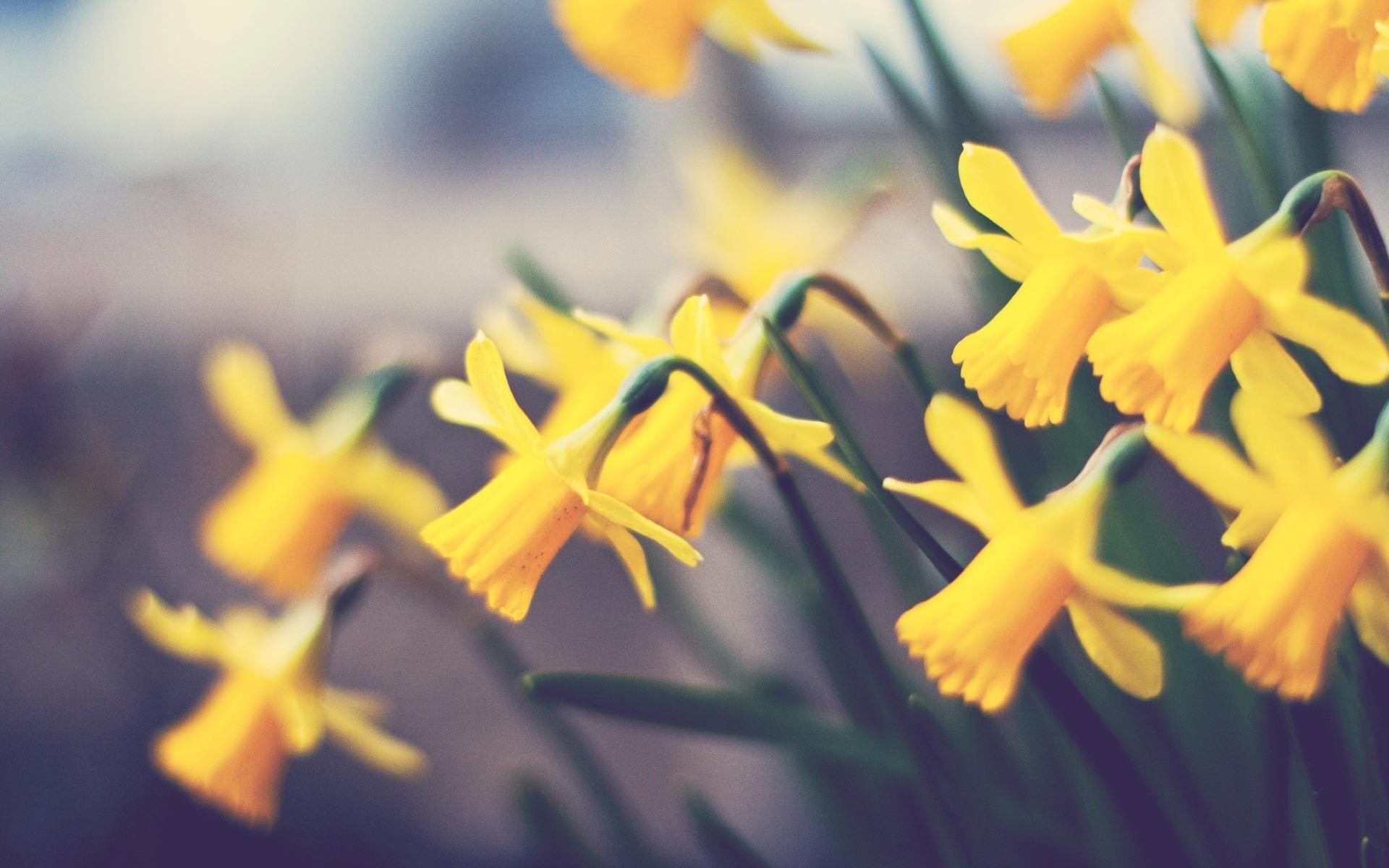 Daffodils Wallpaper 20841 1920x1200 Px Daffodils Daffodil Flower Yellow Daffodils
