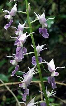 A summer flowering Calanthe orchid from Japan, Calanthe reflexa