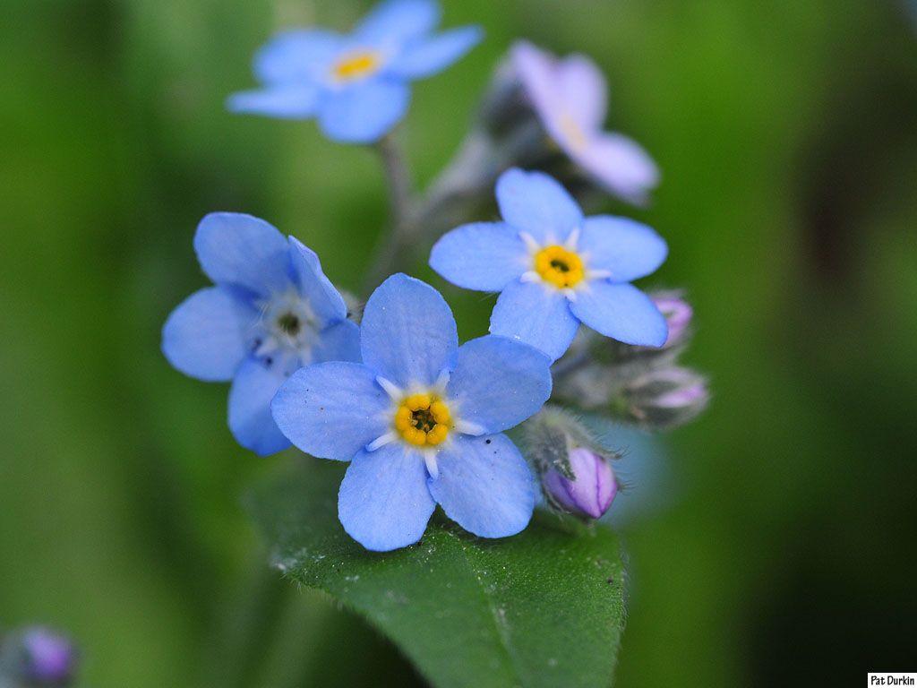 Tiny Blue Flowers 2 Jpg