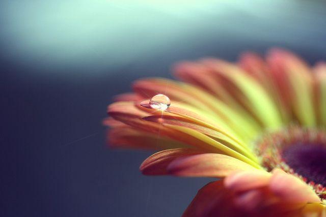 gerbera daisy. | Flickr: Intercambio de fotos
