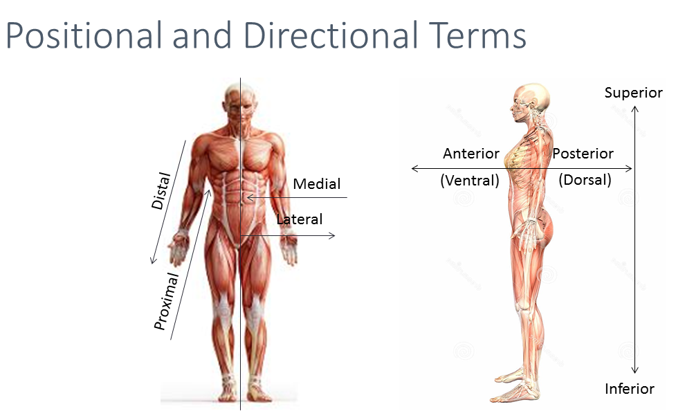Image Result For Directional And Positional Terms Medical