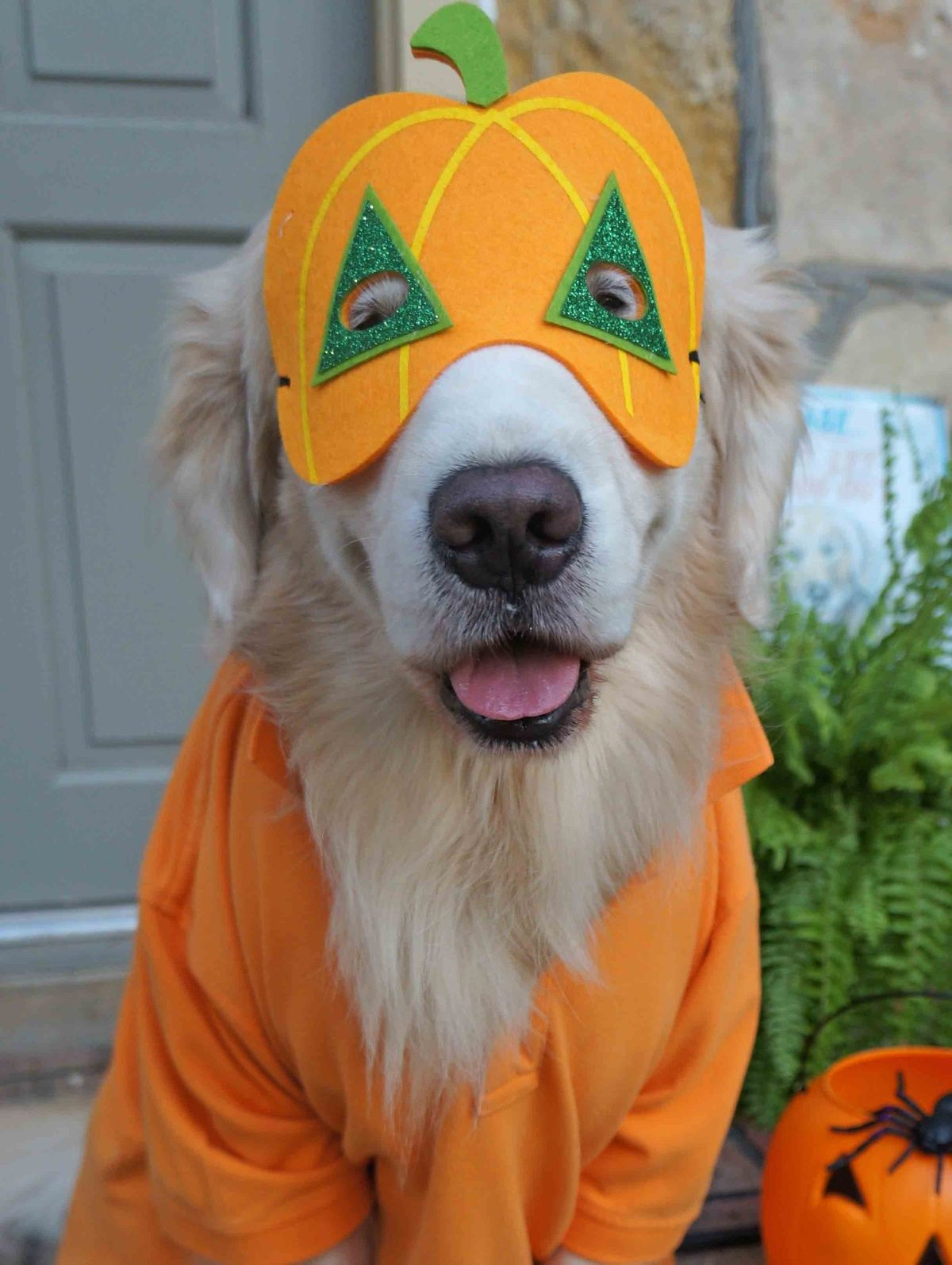 Golden Retriever Dressed As Pumpkin Check Out The Image By
