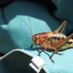 Giant Greek Grasshopper