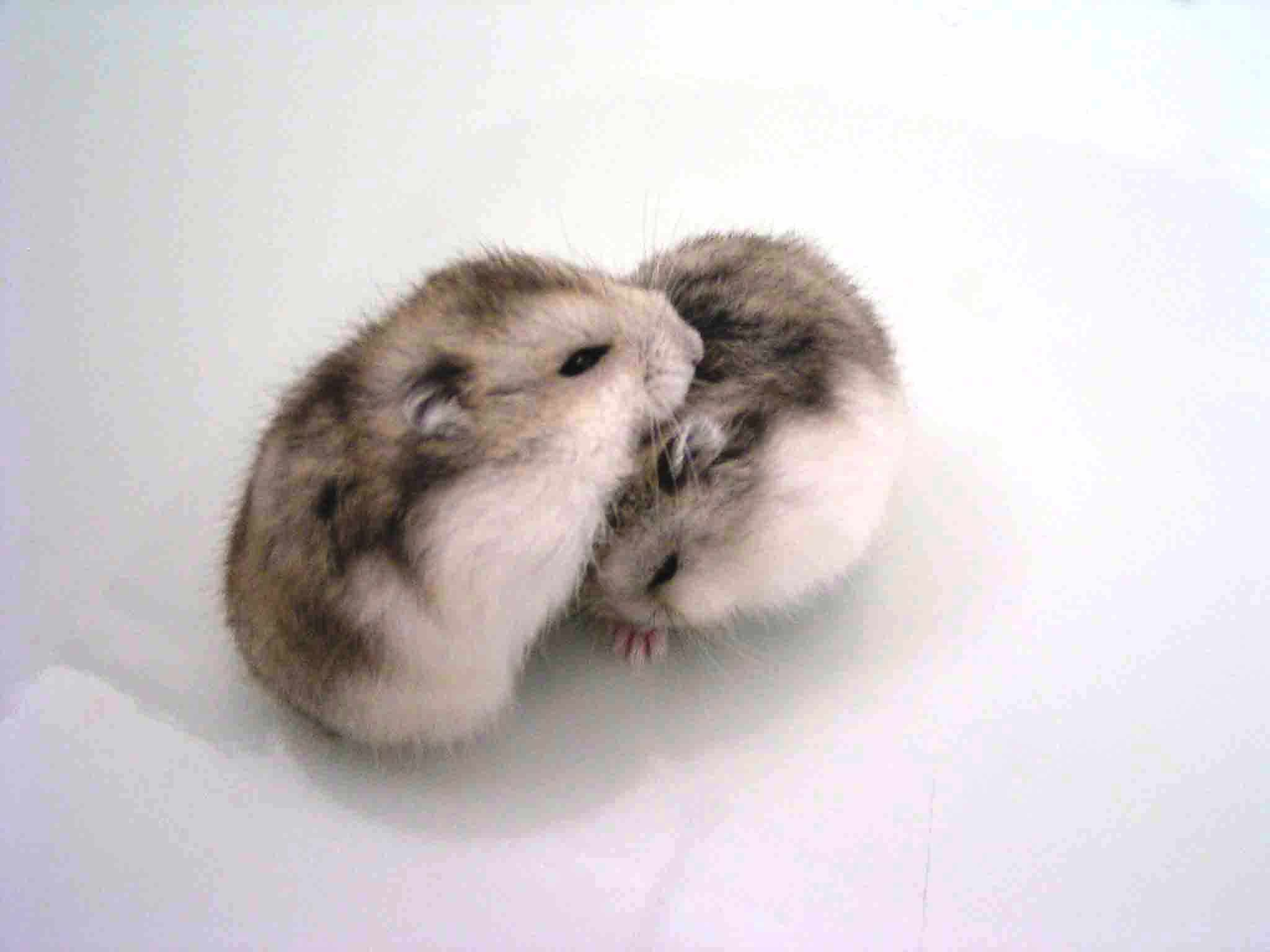 I Think This Is Two Campbell Hamsters Such Adorable Cuddling 3 Cute Hamsters Cute Funny Animals Cute Baby Animals