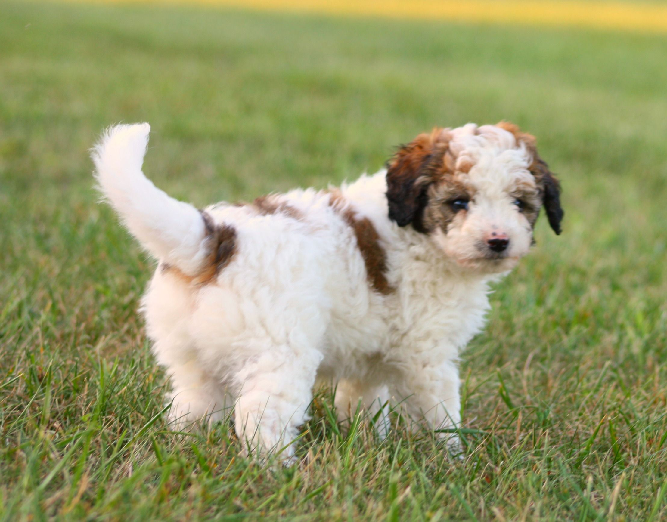 Male Aussie Doodle Banner Cute Dogs Breeds Cute Dogs Dog Breeds